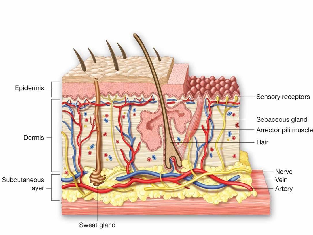 sweat and sebaceous gland
